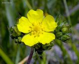 Potentilla gracilis var. gracilis