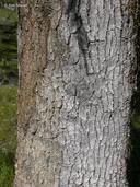 Quercus garryana var. garryana