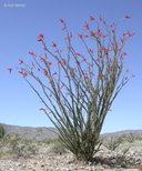 Fouquieria splendens ssp. splendens