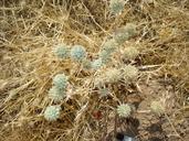Eryngium spinosepalum