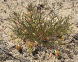 Astragalus douglasii var. douglasii