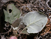 Eriogonum nudum var. pubiflorum