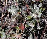 Eriogonum umbellatum var. polyanthum
