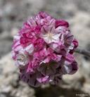 Eriogonum ovalifolium var. purpureum