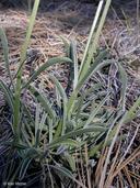 Frasera albicaulis var. modocensis