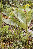 Arabis pycnocarpa