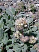 Phacelia hastata ssp. compacta