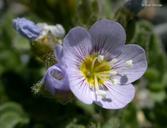 Polemonium pulcherrimum var. pulcherrimum