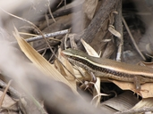 Keeled Grass Skink