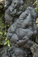 Kretzschmaria deusta