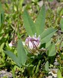 Trifolium longipes