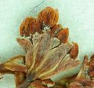 Eriogonum argillosum