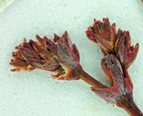 Eriogonum cithariforme