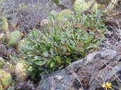 Eriogonum grande
