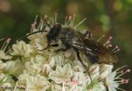 Andrena cerasifolii