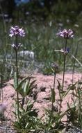 Penstemon heterodoxus var. shastensis