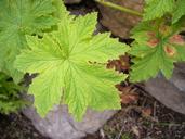 Pelargonium capitatum