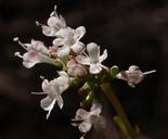 Valeriana acutiloba
