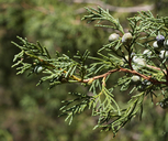 Juniperus scopulorum