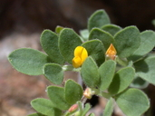 Acmispon wrangelianus