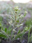 Lepidium lasiocarpum