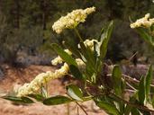 Sambucus nigra ssp. cerulea