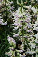 Astragalus curtipes