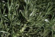 Lupinus chamissonis