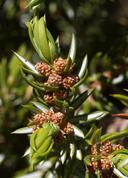 Juniperus communis var. depressa