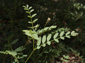 Hedysarum boreale