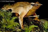 Rhinoderma darwinii