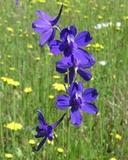 Delphinium variegatum ssp. variegatum