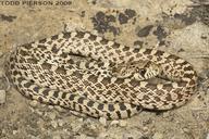 Pituophis catenifer sayi