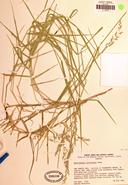 Muhlenbergia californica