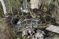 "<strong>Location:</strong> Florida, US<br /><strong>Author:</strong> <a href=""http://calphotos.berkeley.edu/cgi/photographer_query?where-name_full=Todd+Pierson&one=T"">Todd Pierson</a>"