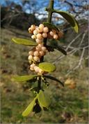 Phoradendron serotinum
