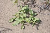 Oryctes nevadensis