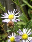 Symphyotrichum spathulatum var. spathulatum