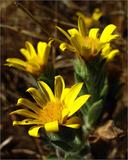 Heterotheca sessiliflora
