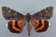Catocala briseis