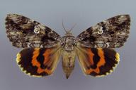 Catocala ilia
