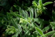 Galium californicum ssp. sierrae
