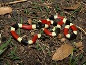 Micruroides euryxanthus euryxanthus