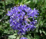 Ceanothus lemmonii