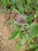 Changable Scorpionweed