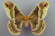 Callosamia promethea