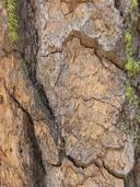 Pinus ponderosa var. ponderosa