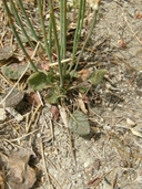 Eriogonum nudum var. deductum