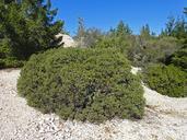 Arctostaphylos ohloneana