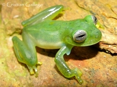Esmerald Glass Frog